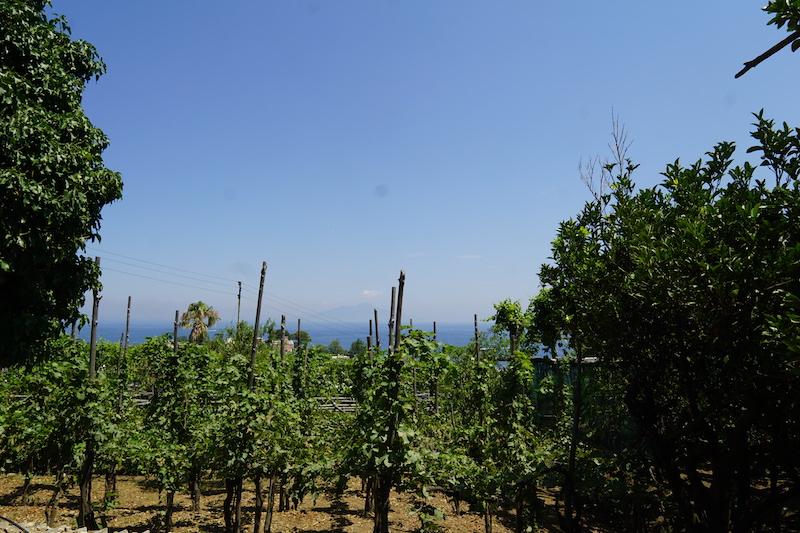 Vingård på Capri med vulkanen Vesuvius  i fjärran