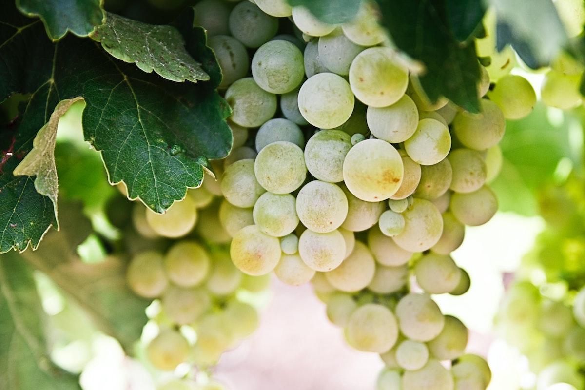 Stora vindruvor till crémant-vin