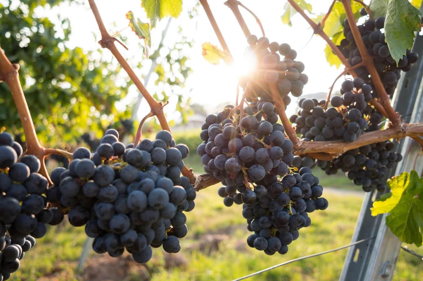 Vindruvor i solen på en vingård