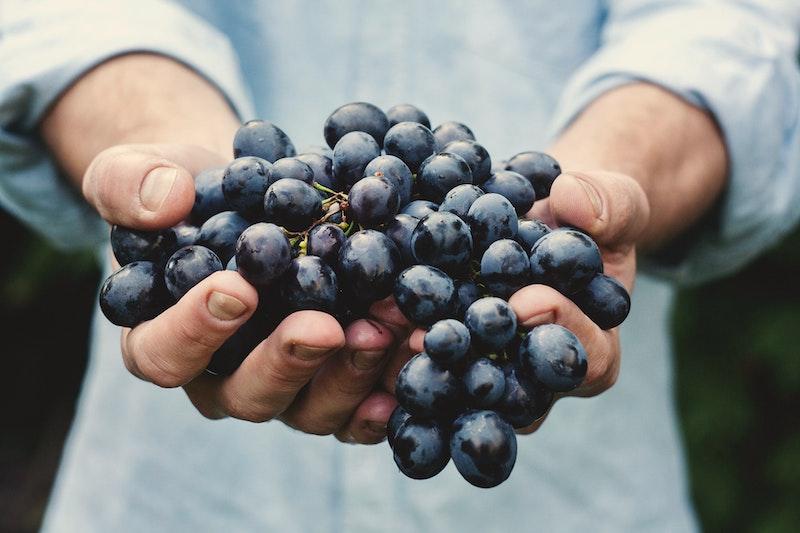 En vinmakare plockar vindruvan tannat i Frankrike