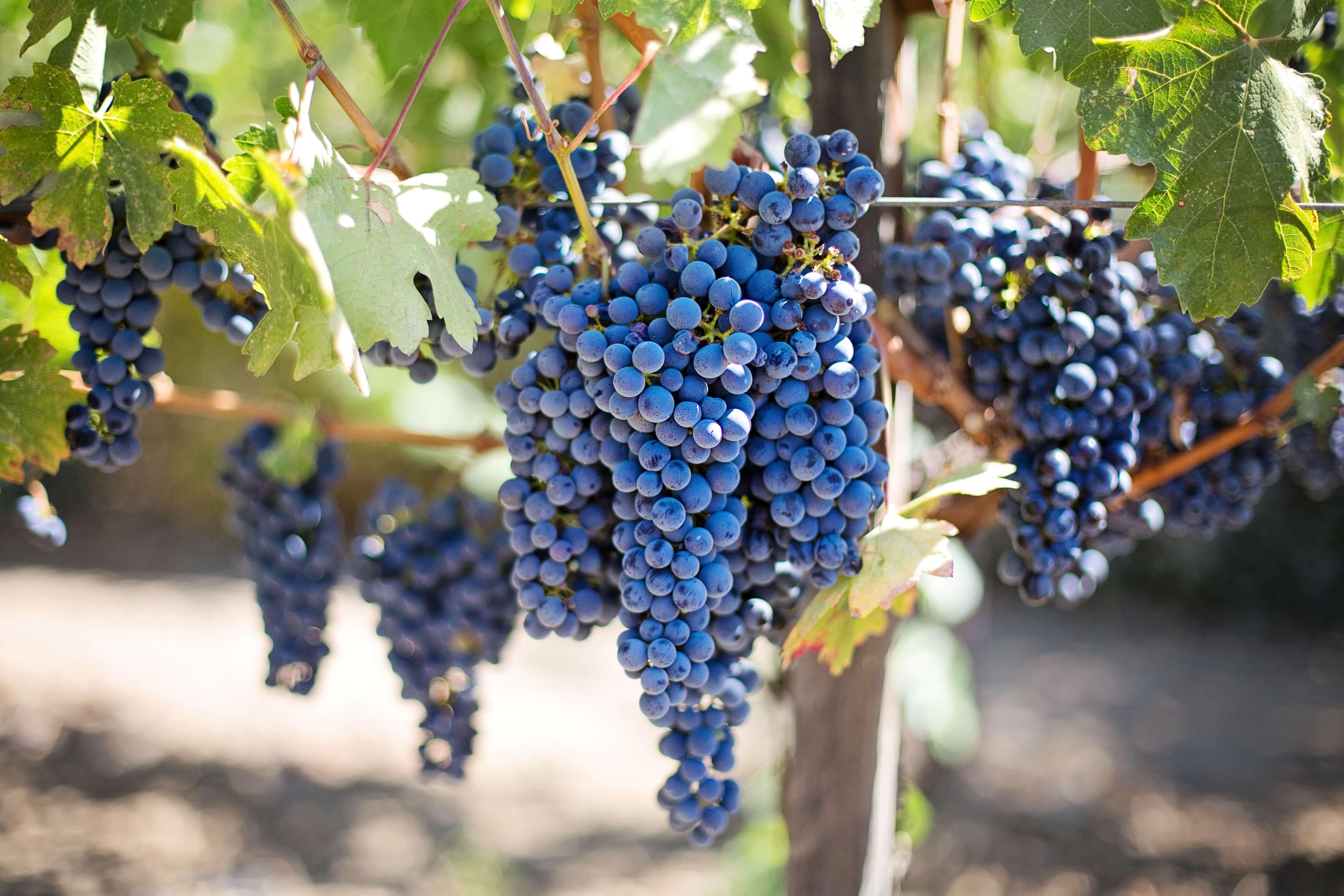 Några klasar mogna Tempranillo-druvor på vingården i Rioja