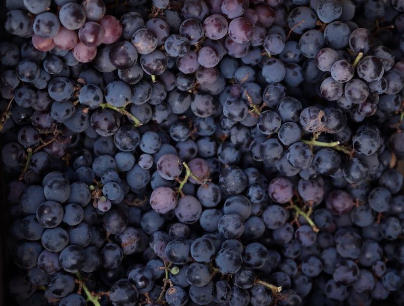 Blå Sangiovese druvor i flera klasar.