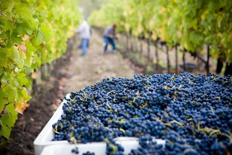 Vindruvor skördade för hand i en vacker vingård