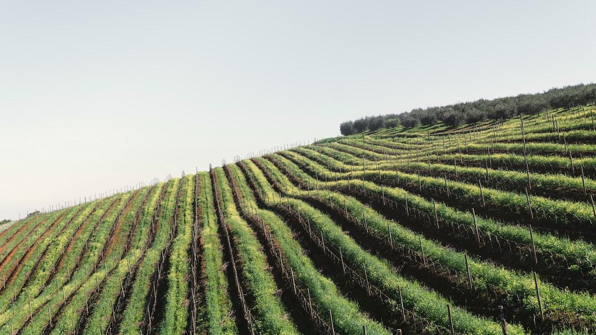 Vingård i crémant de bourgogne