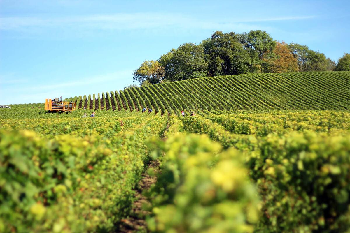 Vinplockare på en vingård i Champagne